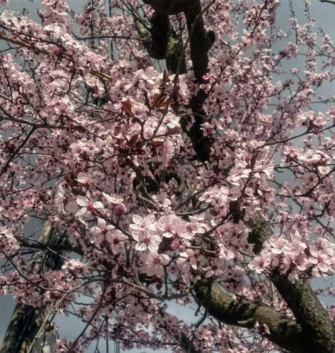 spring_sakura