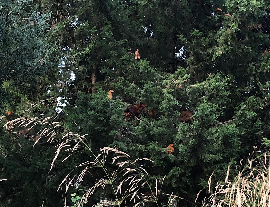 árbol de pollos
